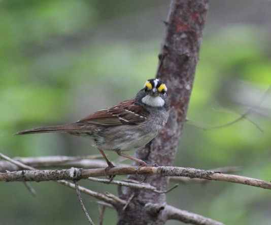Whte-throated Sparrow
