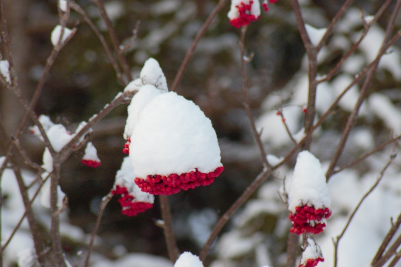 Snow capped Dogberries