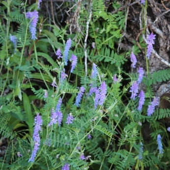 Cow Vetch (2)