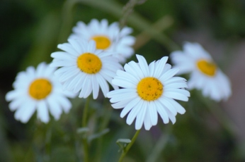 English Daisy(800x533)