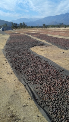 Drying plums for prunes