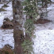 Lichen on White Spruce