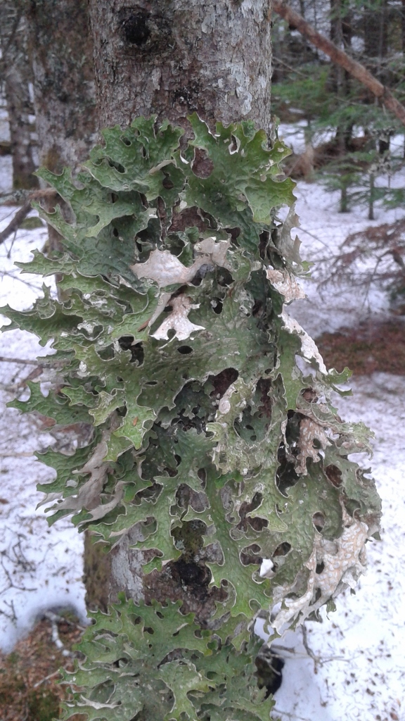 Lichen on White Spruce