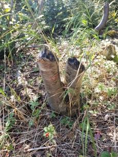 Beaver Sticks